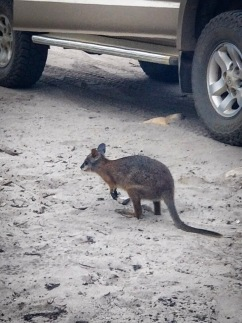 Wallaby 2